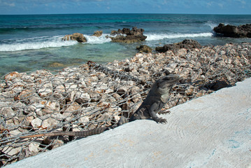 Lesser Antillean Iguana on seawall on Isla Mujeres Mexico coastline - Isla Mujeres is a small island just off the coast from Cancun