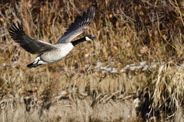Canada Goose Flying Low Over the Wetlands