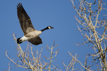 Canada Goose Flying Low Over the Winter Trees
