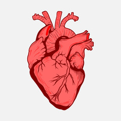 Сердце человека. Жизненно важный орган.