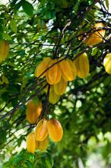 Fototapete - Starfruit tree