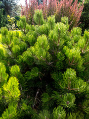 Golden pine growing in the garden
