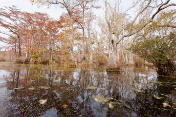 Fall wetland forest Merchants Millpond NC SP USA