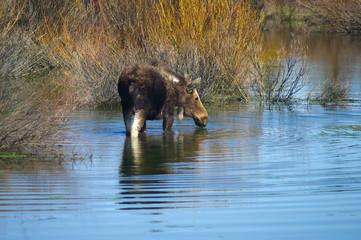 Grand Tetons Moose