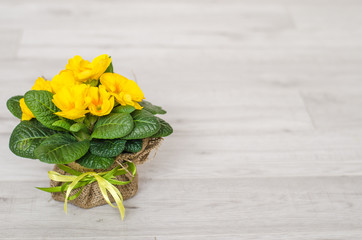 primrose yellow flowers in a pot. Primula closeup on wooden background. Selectiv focus. Vintage effect