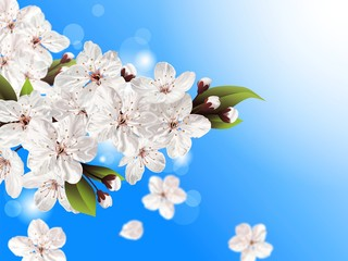 Spring flowers, blooming tree branch, white blossoms against blue sky