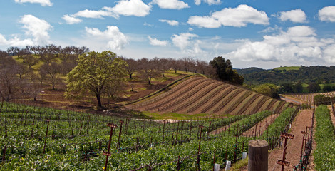 Paso Robles Wine Country Scenery Vineyards in the spring