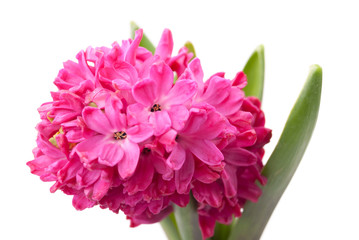 Pink hyacinth on white background.