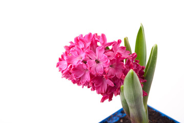 Pink hyacinth in pot on white background.