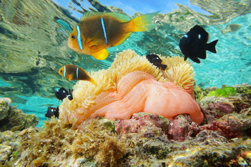 Magnificent sea anemone with tropical fish orange-finned anemonefish and three-spot dascyllus, underwater in the lagoon of Huahine, Pacific ocean, French Polynesia