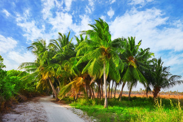 Coconut palms on a tropical island in the Maldives, middle part