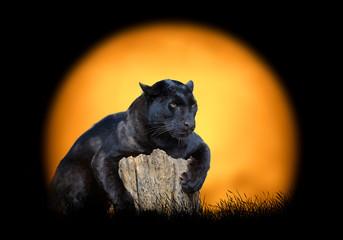 Deurstickers Panter Black leopard on the background of sunset