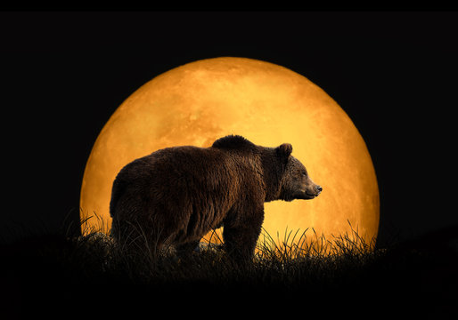 Bear on the background of red moon