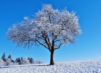 Winterlicher Apfelbaum