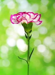 Carnation flower on natural green background.