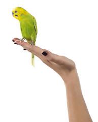 Parakeet on Female Hand