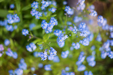 Wall Mural - Close up of blue forget-me-not flower buds on meadow