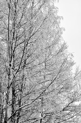birch branches in the snow