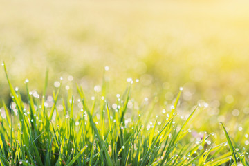 Wall Mural - Morning dew drops on blades of green grass, sunrise