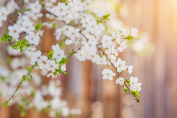Wall Mural - Blooming tree branches with white flowers and leaves. Spring