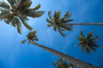 Trunks and crowns - coconut palm in Sarawak.