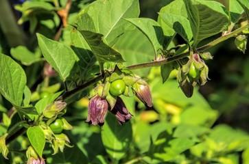 Schwarze Tollkirsche - deadly nightshade plant