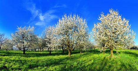 Panorama - blühende Kirschbäume