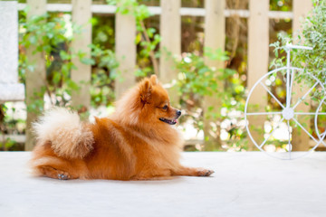 Cute Pomeranian dog portrait at home