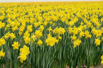 Daffodil field in the nature