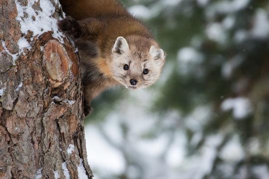 Pine Marten, Martes Americana, peeking down from a snowy pine tree.  It seems curious yet shy.