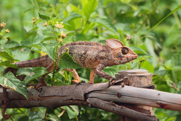 Chameleon on protection from tree