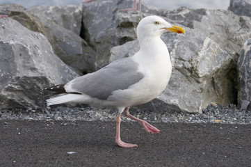Herring gull walking
