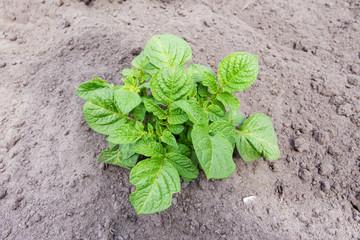 young bush potatoes