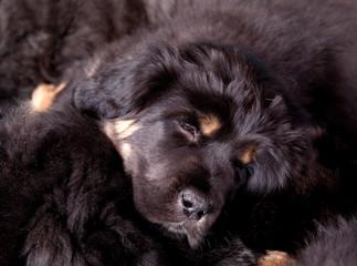 Tibetan mastiff puppys sleeping