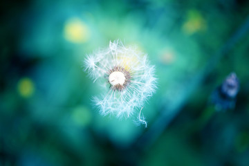photo lovely dandelion