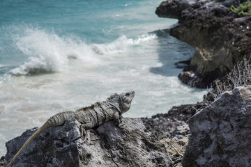 Iguana lying on a rock on the shore of the Caribbean