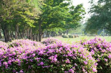 Fotobehang Lavendel purple bougainvillea on evening
