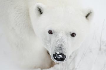 Male polar bear in the wild. Canada.