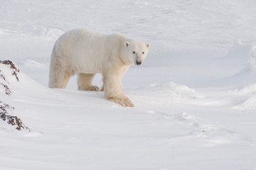 Wild male polar bear walking in evening light. Arctic.