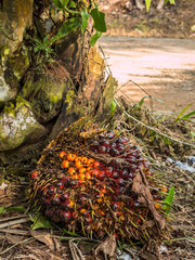 Close up of Palm Oil fruits.