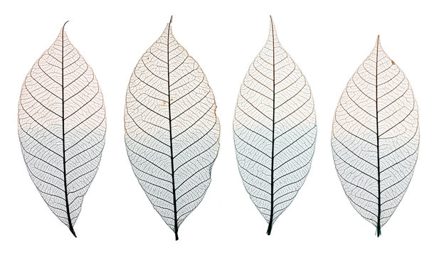 Skeleton leaves isolated on white. Set of decorative skeleton leaf isolated on white.