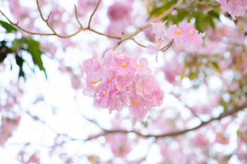 Tabebuia rosea is a Pink Flower neotropical tree