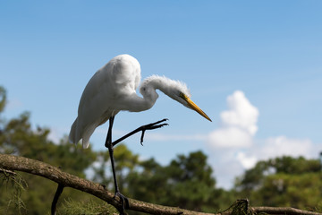 Wall Mural - Great Egret standing on a branch with leg extended showing claw. Blue sky background taken in Florida USA.