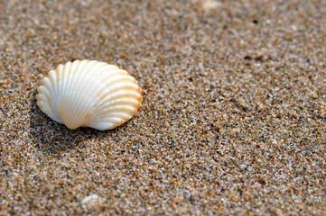 Einzelne Muscheln am Strand