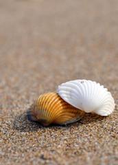 2 Muscheln am Strand