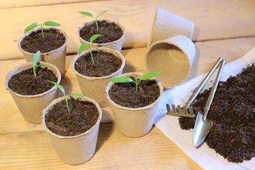 Kleine Paprikapflanzen im Pappetöpfen