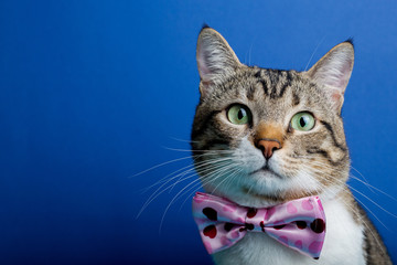 Cat  with a ribbon,bow sitting and looking to camera isolated on blue background.