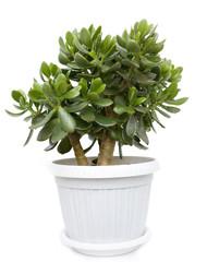 Crassula or dollar tree on white background