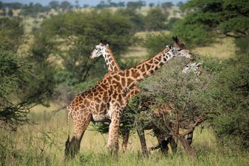 Two giraffes on african savannah