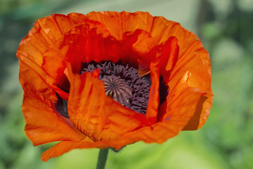 red poppy flowers, poppy flower bud on green background
